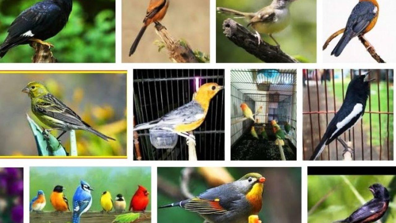 Daftar Harga Burung Kicau Terbaru Desember 2020 Hargabulanini Com