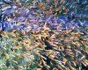 Daftar Harga Bibit Ikan Mas Per Ekor Terbaru