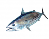 Harga Ikan Cakalang Per KG Terbaru