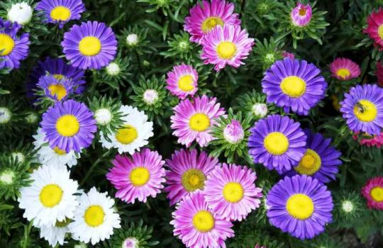 Harga Bibit Bunga Aster Terbaru Tips Merawat Menanam