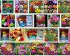 Harga Bibit Bunga Dahlia Terbaru